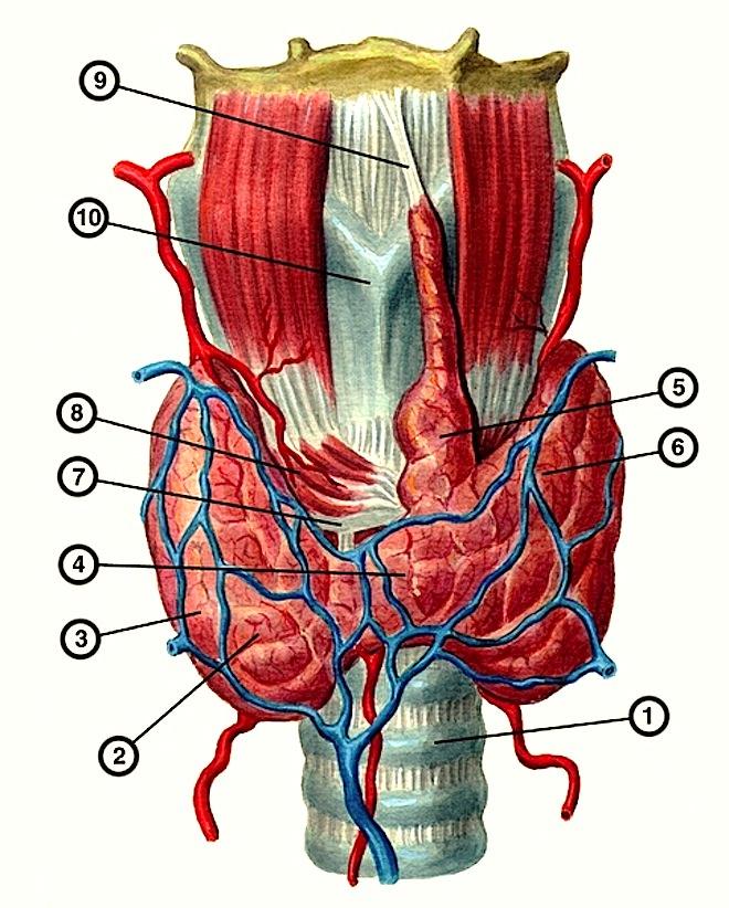 нормальное строение щитовидной железы