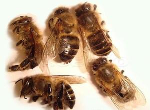 Лечение щитовидки пчелиным подмором