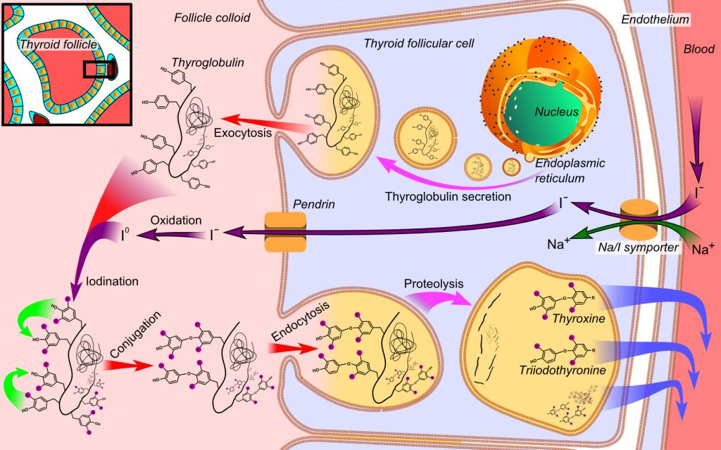 Синтез тироксина в фолликулах щитовидной железы