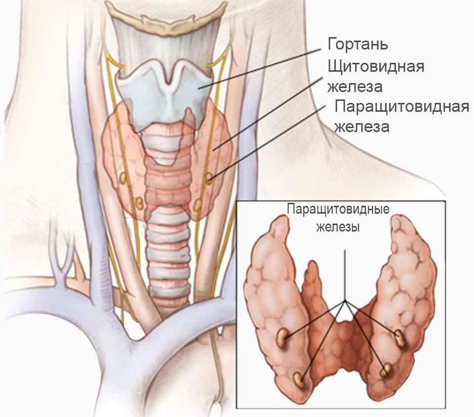иллюстрация расположения паращитовидных желез