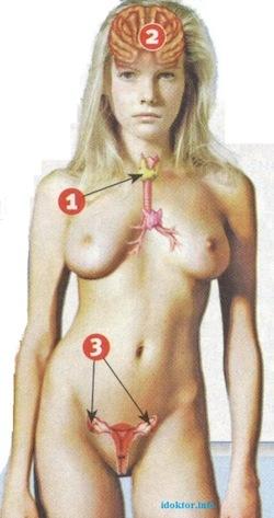 1. щитовидная железа 2. гипофиз 3. яичники