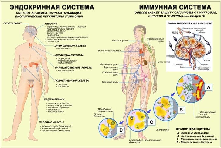 Эндокринная система тесно взаимодействует с имунной системой человека.