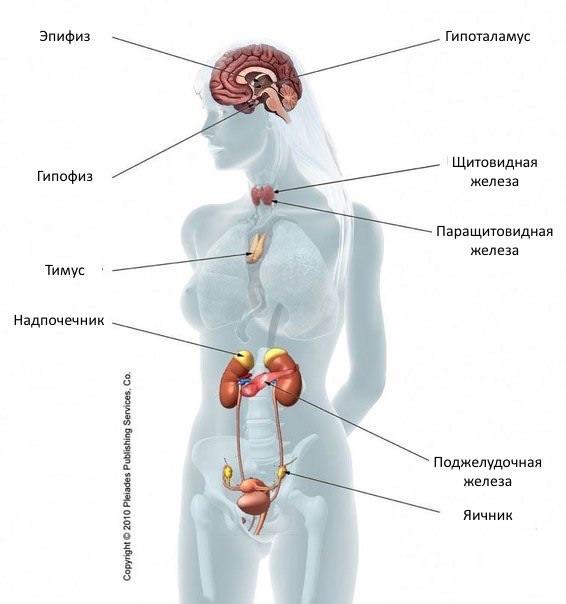 Гормональная система человека представлена различными эндокринными органами (железы внутренней секреции).